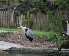 Dem war auch kalt (dieunsoziale) Tags: zoo osnabrck tier reiher