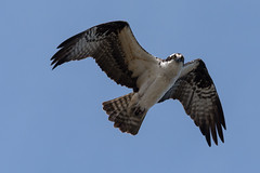 (Rick 2025) Tags: male birds inflight kill kingston if looks could osprey