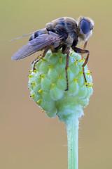 Hypoderma diana (Cristian Arghius) Tags: macro naturallight focusstack warblefly canonef100mmf28lmacroisusm zerenestacker rrstp243tripod sonya6000 metabonescanoneftoemountsmartadaptermarkiv kpst5d hypodermadiana