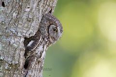 Eastern Screech Owl (kleinfew) Tags: bird nature canon photography backyard florida raptor owl cocoa 500mm oaktree nesting screechowl owlets 1dx kleinfelder