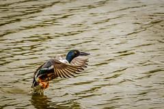 Shoveller taking Off (mikesa10) Tags: ca canada water birds britishcolumbia delta ladner reifelbirdsanctuary deltabc ladnerbc shoveller canon6d