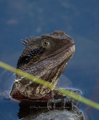 Water Dragon (Ray Swann) Tags: water dragon reptile amphibian lizard