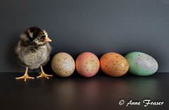 little chicken (Anne Marie Fraser) Tags: cute chicken chick eggs wyandotte