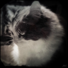 Keiko (jeanne.marie.) Tags: blackandwhite monochrome cat softness kitty squareformat tintype iphoneography hipstamatic iphone5s