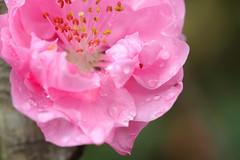 20160403-DSC_5440.jpg (d3_plus) Tags: sky plant flower macro nature rain japan walking nikon scenery waterdrop bokeh hiking drop daily rainy bloom   wildflower tamron  kanagawa   aftertherain dailyphoto    thesedays tamron90mm sagamihara   dogtoothviolet       shiroyama   erythroniumjaponicum   tamronmacro  tamronspaf90mmf28 tamronspaf90mmf28macro11 d700 172e  tamronspaf90mmf28macro nikond700  spaf90mmf28macro11 172en dogtoothvioletvillage