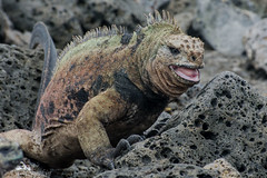Bellicose Beachgoer (antonsrkn) Tags: wild santacruz beach southamerica nature rock island lava nationalpark ecuador marine natural wildlife rocky lizard galapagos iguana angry behavior biology hostile herp biodiversity herpetology vulnerable cites iucn cristatus herping reptle amblyrhynchus