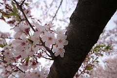 IMG_9152 (BrellLi) Tags: flora nagoya  cherryblossom  sigma1224mm       canon6d