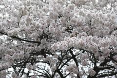 full bloom!  (SIGMA DP3 Merrill) (potopoto53age) Tags: pink flowers plant flower macro tree apple japan cherry 50mm aperture blossoms sigma full pinkflower bloom   sakura cherryblossoms f28 yamanashi merrill fullbloom appleaperture dp3 oizumi sigmalens    hokutoshi potopoto53age sigmaphotopro dp3merrill sigmadp3merrill sigmalens50mmf28macro sigmaphotopro632