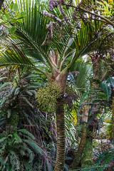 Little Mountain Palm - Lepidorrhachis mooreana (NettyA) Tags: plants tree fruit flora australia hike palm nsw summit day6 endemic bushwalk unescoworldheritage lordhoweisland 2016 lhi arecaceae arfp umbrellapalm mtgower lhrfp lepidorrhachismooreana littlemountainpalm lepidorrhachis gnarledmossycloudforest janetteasche lordhoweforclimate mtgowerclimb