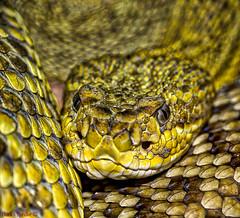 DSC02590_G+_1200 (bianka.spindler) Tags: macro zoo stuttgart snake g sony master mm 90 f28 terrarium schlange wilhelma sonya7r