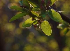 dew (katie.hannaa) Tags: sun sunlight green water droplets leaf dew waterdrops rugiada waterdroplets