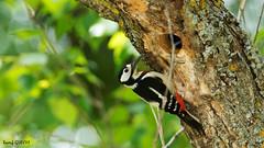 _DSC1310 (regov) Tags: major woodpecker great pic spotted et tunisie sous dalgrie dendrocopos espce peiche numidus