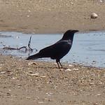 Fish Crow thumbnail