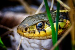 Unplanned... (Portraying Life) Tags: unitedstates reptile snake michigan selfie closecrop
