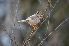 Leucistic Song Sparrow-5380G (Paul*Nelson) Tags: bird up michigan sparrow upperpeninsula wildbird leucistic michigansupperpeninsula