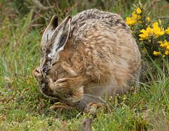 Bashful (KHR Images) Tags: brownhare mature male havergate island suffolk wild mammal lepuseuropaeus rspb nikon kevinrobson khrimages