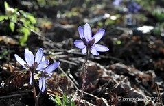 Hepatica in the sun (Mwap38) Tags: blue flower nature forest outdoors spring hiking ground springtime naturephotography springflower hepatica naturemasterclass