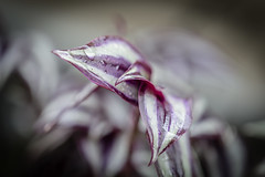 Purple Tears (Jeronimo Photography) Tags: plant macro rain tears dof close purple florida miami outdoor prince drop kendall raindrop purplerain canon6d purpletears ef100mmf28lmacroisusm