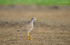 Smart and Handsome!! (Anirban Sinha 80) Tags: bird field ed nikon bokeh d lapwing 500mm depth 610 vrii