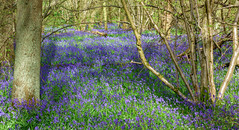 DSC01012_edited-1 (John Clinch) Tags: wood blue bells kings ampthill