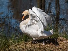 Angel's wings (Maria-H) Tags: uk england cheshire unitedkingdom panasonic gb dunhammassey muteswan cygnusolor 100300 gh4 dmcgh4