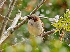 Sparrow in big snowstorm (GerWi) Tags: schnee snow storm nature birds wind outdoor natur snowstorm sparrow springs vgel spatzen frhling