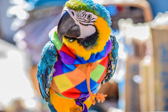 Parrot at Whitby Goth Weekend 2016 (H@y1ey) Tags: blue red orange green bird field animal yellow nikon colorful colours bright bokeh wildlife yorkshire north beak parrot whitby colourful depth northyorkshire d3300