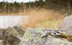 IMG_5402-2 (Montivipera) Tags: male adult snake grasssnake colubridae fieldherping oskarshamn natrixnatrix natricinae kalmarln vnevik oskarshamnkommun