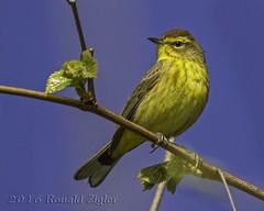 Palm Warbler IMG_9520 (ronzigler) Tags: bird nature canon sigma palm avian warbler birdwatcher 150600mm