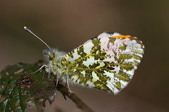 Male Orange Tip Butterfly (Chris*Bolton) Tags: ireland butterfly insect spring butterflies sunny insects roosting wicklow bramble roost orangetip orangetipbutterfly rathdrum