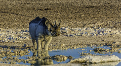 Here Today, Gone Tomorrow (Baron Reznik) Tags: africa nature horizontal nationalpark wildlife safari journey transportation rhino afrika waterhole  namibia rhinoceros chums etosha kaokoveld afrique bigfive endangeredspecies  blackrhinoceros    kaokoland colorimage kunene iucn rhinocerotidae criticallyendangered canon100400mmf4556lis redlist dicerosbicornis  etoshanationalpark   hooklippedrhinoceros iucnredlist oddtoedungulate bigfivegame         ceratomorpha    republicofnamibia greatwhiteplace khubus canon14xiiitelephotoextender  etotha