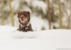 Jet Propelled (KB RRR) Tags: dog snow colorado rockymountains frontrange chocolatelabrador shyla
