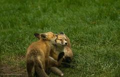 """Let me tell you a secret!"" Fox kits (rishaisomphotography) Tags: cute nature mammal furry fuzzy wildlife den siblings fox redfox vulpesvulpes babyanimal wildlifephotography naturephotographer babyfox foxkits"