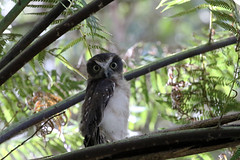 Southern boobook (Ninox boobook) (LauriusV) Tags: familystrigidae orderstrigiformes genusninox englishsouthernboobook speciesninoxboobook