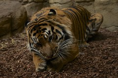 19th January 2016 (EmmaDurnford) Tags: london zoo feeding sumatrantiger predator regentspark stripy jaejae londonzoologicalsociety