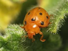 Bryony Ladybird (treegrow) Tags: nature insect spain arthropoda coleoptera coccinellidae lifeonearth raynoxdcr250 henosepilachnaargus canonspeedlite430exii taxonomy:binomial=henosepilachnaargus canonpowershotsx40hs