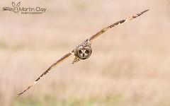 Short-eared Owl - 13th December 2015 (TopBeater) Tags: hampshire owl birdsinflight southampton owls birdsofprey seo shortearedowl hampshirewildlife