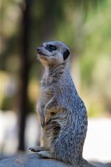 Meerkat lookout (kb_vaidya) Tags: southafrica meerkat lookout botswana namibia mongoose meerkatlookout
