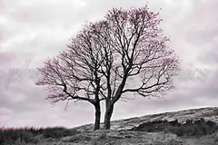 Wuthering Heights... Bronte Sisters Trees (pbauerphotographics) Tags: monochrome sisters photography bush kate top bronte moorland withens