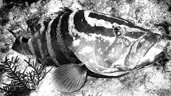 Grouper Timeout (mikederrico69) Tags: ocean sea bw fish marine scuba diving marinelife