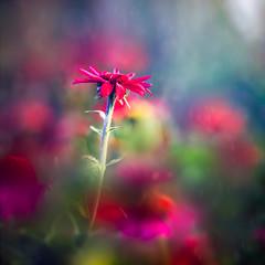 Afternoon Delight (Elizabeth_211) Tags: flowers blue red nature floral garden bokeh tennessee 85mm 6d jacksontn westtn utgardensjackson sherielizabeth