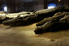 Kom Ombo Preserved Crocodile Mummies (shaire productions) Tags: world old travel art history animal temple photo image alligator egypt picture culture science photograph egyptian crocodile horror mummy creature mythology mummies cultural ancientegypt scientific komombo mummified animalmummy preservedcrocodiles