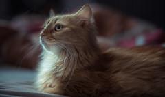 Pet-Portrait - Bertl the cat (loghaire) Tags: pet cute animal cat fur pussy kitty whiskers mutzi