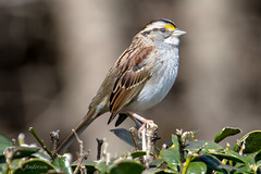 "Feb062016-10 (Mark ""MacA"" Anderson) Tags: sparrow whitethroatedsparrow"