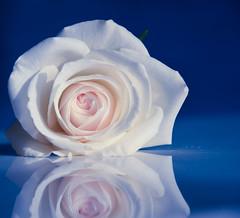 Vibrant minimalism - Rose [Explored 2016-02-07] (Maria Eklind) Tags: blue black flower reflection rose se blomma sverige ros malm ljus spegling skneln macromondays vibrantminimalism