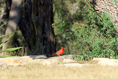 Kardynał | Cardinal