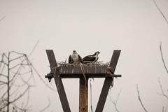 SanJoaquinWildlife-18 (rskim119) Tags: baby lake 3 bird nature water animal landscape pond nikon san nest wildlife 4 reserve pole chick joaquin marsh tamron preserve sanctuary irvine osprey nesting shorebird 70300 irwd d3300