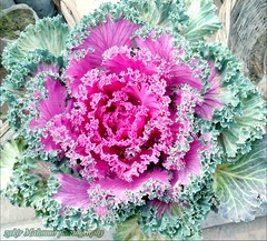 Fancy cabbage #pink&green