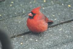 Icy Morning (David P James) Tags: cardinal