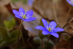 *** (pszcz9) Tags: flower macro nature closeup spring bokeh sony poland polska wiosna przyroda kwiat beautifulearth zblienie